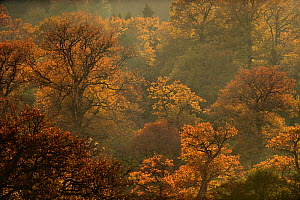 English oak tree (Quercus robur) woodland in autumn colours, Kellerwald, Hesse, Germany,  November. - Solvin Zankl