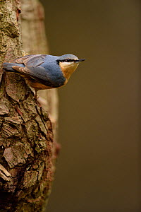 Nuthatch (Sitta europaea) on oak tree. Niedersechsische Elbtalaue Biosphere Reserve, Elbe Valley, Lower Saxony, Germany, December. - Solvin Zankl
