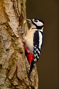 Great spotted woodpecker (Dendrocopos major) with grub perched on oak tree. Niedersechsische Elbtalaue Biosphere Reserve, Elbe Valley, Lower Saxony, Germany, December - Solvin Zankl