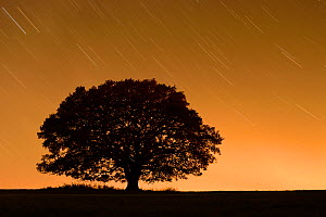 English oak tree (Quercus robur) silhouetted against orange sky with star trails, Nauroth, Germany, October.  -  Solvin Zankl