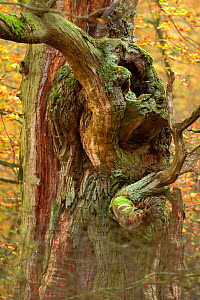 English oak tree (Quercus robur) gnarled  branch, Kellerwald, Hesse Germany, November. - Solvin Zankl