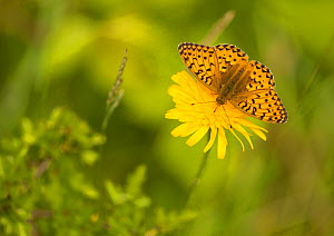 Dark-green fritillary (Argynnis aglaja) on flower, Coombes Dale, Derbyshire, England, UK, July.  -  Paul Hobson