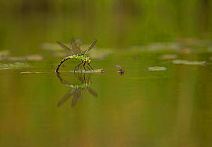 Emperor dragonfly (Anax imperator) female ovipositing, Derbyshire, England, UK, August. - Paul Hobson