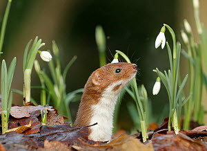 Weasel (Mustela nivalis) looking out of hole on woodland floor with snowdrops, Sheffield, England, UK.  -  Paul Hobson