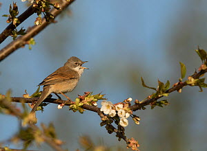 Whitethroat (Sylvia communis) male, singing, Sheffield, England, UK, April.  -  Paul Hobson
