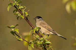Male Blackcap (Sylvia atricapilla) perched in tree, South Yorkshire, England, UK, April.  -  Paul Hobson