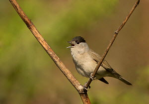Male Blackcap (Sylvia atricapilla) singing in tree, South Yorkshire, England, UK, April.  -  Paul Hobson