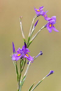 Karoo iris (Moraea polystachya) Mountain Zebra National Park, Eastern Cape, South Africa , February.  -  Ann  & Steve Toon