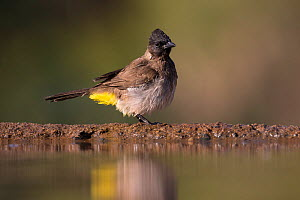 Dark-capped bulbul (Pycnonotus tricolor) at waterhole, Zimanga private Game Reserve, KwaZulu-Natal, South Africa  -  Ann  & Steve Toon