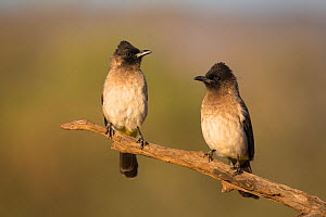 Dark-capped bulbuls (Pycnonotus tricolor), Zimanga private Game Reserve, KwaZulu-Natal, South Africa  -  Ann  & Steve Toon