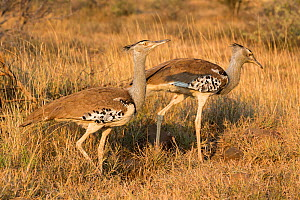 Kori bustards (Ardeotis kori), pair,  Kruger National Park, South Africa, May  -  Ann  & Steve Toon