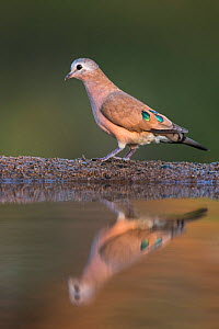 Emerald-spotted wood dove (Turtur chalcospilos), Zimanga private Game Reserve, KwaZulu-Natal, South Africa  -  Ann  & Steve Toon