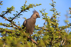 Grey go-away-bird (Corythaixoides concolor), Kruger National Park, South Africa, May  -  Ann  & Steve Toon