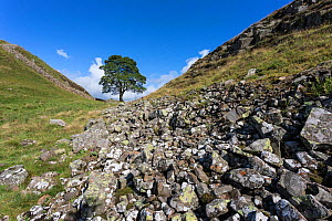 Sycamore (Acer pseudoplatanus) gap, Hadrian's Wall, Northumberland, UK, August  -  Ann  & Steve Toon