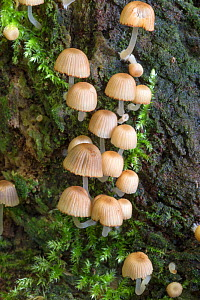 Fairy inkcaps fungus (Coprinellus disseminatus), Northumberland, UK, October. - Ann  & Steve Toon
