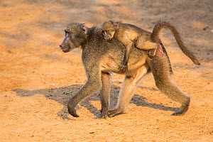 Chacma baboons (Papio ursinus) baby riding on mother's back, Mkhuze Game Reserve, KwaZulu-Natal, South Africa, June  -  Ann  & Steve Toon