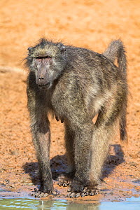 Chacma baboon (Papio ursinus) female at waterhole, Mkhuze Game Reserve, KwaZulu-Natal, South Africa, June  -  Ann  & Steve Toon