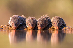 Banded mongoose (Mungos mungo) drinking, Zimanga Private Game Reserve, KwaZulu-Natal, South Africa, May  -  Ann  & Steve Toon