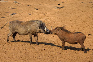 Warthog (Phacochoerus aethiopicus) male and female socialising, Mkhuze Game Reserve, KwaZuiu-Natal, South Africa, June  -  Ann  & Steve Toon