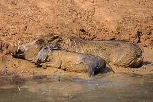 Warthog (Phacochoerus aethiopicus)  mother and young mud bathing, Mkhuze Game Reserve, KwaZulu-Natal, South Africa, June  -  Ann  & Steve Toon