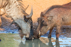 Warthog (Phacochoerus aethiopicus) and Common wildebeest (Connochaetes taurinus) drinking, Mkhuze game reserve, KwaZuiu-Natal, South Africa, June - Ann  & Steve Toon