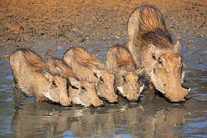 Warthogs (Phacochoerus aethiopicus) mother with babies drinking, Mkhuze game reserve, KwaZuiu-Natal, South Africa, June  -  Ann  & Steve Toon