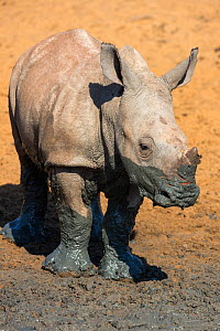 White rhinoceros calf (Ceratotherium simum), Mkhuze Game Reserve, KwaZulu-Natal, South Africa, May  -  Ann  & Steve Toon
