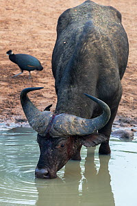 Cape buffalo (Syncerus caffer) drinking with Crested guineafowl (Guttera pucherani) in the background, Mkhuze Game Reserve, KwaZulu-Natal, South Africa, June - Ann  & Steve Toon
