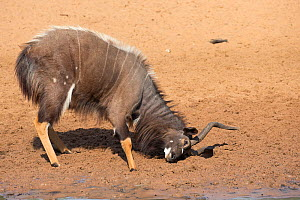 Nyala (Tragelaphus angasii), bull ground raking, Mkhuze Game Reserve, KwaZulu-Natal, South Africa, June  -  Ann  & Steve Toon