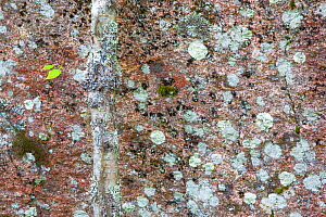 Birch tree (Betula pendula) with lichen, camouflaged against lichen covered rock face,  Muddus National Park, Sweden.  September 2014. Highly commended in GDT European Wildlife Photographer of the Yea... - Theo  Bosboom