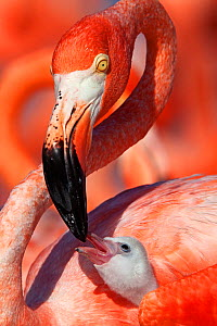 Caribbean flamingo (Phoenicopterus ruber) adult feeding chick, Ria Lagartos Biosphere Reserve, Yucatan Peninsula Mexico, June. Winner of the CONABIO Nature Photography Competition 2015. - Claudio  Contreras