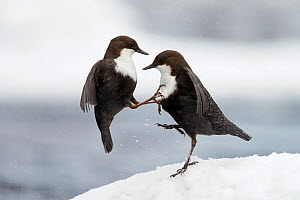 Dippers (Cinclus cinclus) fighting in snow, Kuusamo, Finland, March. Second Place in the Telephoto Lens Category of the Terre Sauvage Nature Images Awards competitiion 2015. - Markus Varesvuo