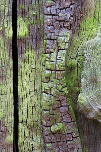 Close up of a veteran English Oak tree (Quercus robur), showing area of dead wood that is an imporant habitat for a huge range of invertebrates. Sherwood Forest National Nature Reserve, Nottinghamshir... - Alex  Hyde