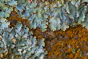 Lichen (Parmelia saxatilis) interspersed with  orange patches of a Green alga (Trentepohlia sp.) that gets its unusual colouration from the haematochrome (�-carotene) it contains. Found growing on a g...  -  Alex  Hyde
