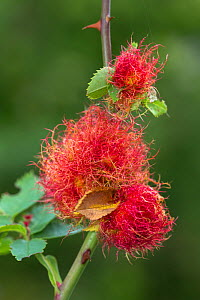 Robin's pincushion gall caused by Gall wasp (Diplolepis rosae) on wild Dog rose (Rosa canina), Peak District National Park, Derbyshire, UK. September.  -  Alex  Hyde