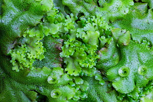 Endive Pellia liverwort (Pellia endiviifolia) in centre growing through Common Liverwort (Marchantia polymorpha), the latter bearing cups containing gemmae (used in asexual reproduction). Lathkill Dal...  -  Alex  Hyde