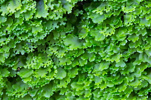 Endive pellia liverwort (Pellia endiviifolia). In autumn and early winter this species develops numerous branches at the tips, as shown here. Lathkill Dale, Peak DIstrict National Park, Derbyshire, UK...  -  Alex  Hyde