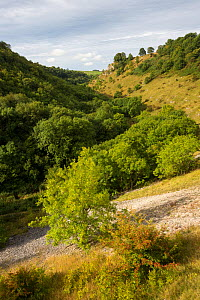 Ash trees (Fraxinus excelsior) growing on limestone scree in Lathkill Dale, Peak District National Park, Derbyshire, UK. September.  -  Alex  Hyde