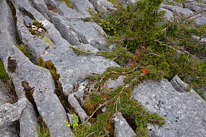 Stunted Yew tree (Taxus baccata) growing in limestone pavement gryke, Gait Barrows National Nature Reserve, Lancashire, UK. September.  -  Alex  Hyde