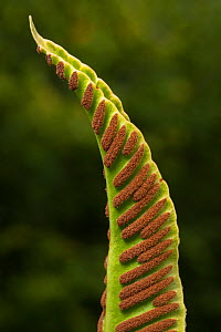 Hart's tongue fern (Asplenium scolopendrium)  rows of spore-producing sori  on   underside of the frond. Gait Barrows National Nature Reserve, Lancashire, UK. September.  -  Alex  Hyde