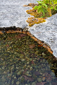Shallow pool on an area of limestone pavement containing Freshwater grapes (Nostoc sp.), a blue-green algae or cyanobacteria. Gait Barrows National Nature Reserve, Lancashire, UK. September.  -  Alex  Hyde