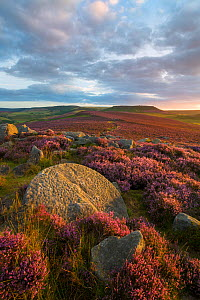 View towards Higger Tor from Over Owler Tor with heather in full bloom. Abandoned millstone can be seen in the foreground. Peak District National Park, Derbyshire, UK. August 2015. - Alex  Hyde