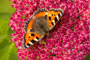 Small tortoiseshell butterfly (Aglais urticae)  feeding on Ice plant (Sedum sp.). Peak District National Park, Derbyshire, UK. September.  -  Alex  Hyde