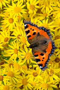 Small tortoiseshell butterfly (Aglais urticae)  feeding on Common ragwort (Senecio jacobaea). Peak District National Park, Derbyshire, UK. August.  -  Alex  Hyde