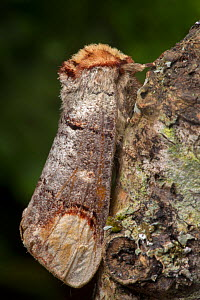 Buff-tip moth (Phalera bucephala) Dorset, UK. August. - Alex  Hyde