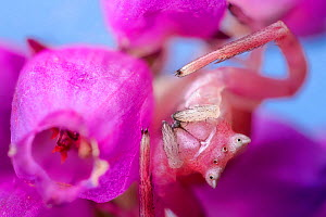 Crab spider female (Thomisus onustus) camouflaged on Bell heather (Erica cinerea) where it will ambush its insect prey. Surrey, UK. October.  -  Alex  Hyde