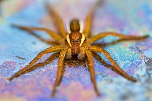 Raft spider (Dolomedes fimbriatus) female on Heathland pool, Surrey, UK. October. The multicoloured film results from chemoautotrophic bacteria that oxidise iron and manganese ions in the water, with... - Alex  Hyde