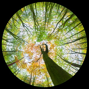 View up towards autumnal Beech (Fagus sylvatica) woodland canopy,  taken with a fisheye lens. Derbyshire, UK. October.  -  Alex  Hyde