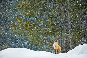 Red fox (Vulpes vulpes) standing in snowfall, Grand Teton National Park, Wyoming, USA, February. Winner of the NPL Best Single Image award in the Terre Sauvage Nature Images Awards competition 2015. - Radomir  Jakubowski