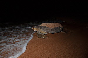 Green turtle (Chelonia mydas) returning to see after egg laying, e to open sea after digging nest.  Bissagos Islands, Guinea Bissau. Endangered species. 3rd Place in the SOS Especes Menacees / SOS End...  -  Pedro  Narra